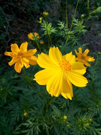 Yellow cosmos flower in nature garden cosmos sulphureus stock photo stock photo yellow cosmos flower in nature garden cosmos sulphureus mightylinksfo