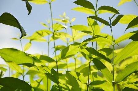religiosa: fresh green Wrightia religiosa Benth leaves Stock Photo