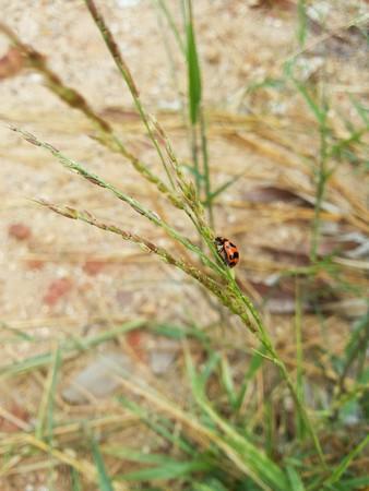 small ladybug on grass flower Zdjęcie Seryjne