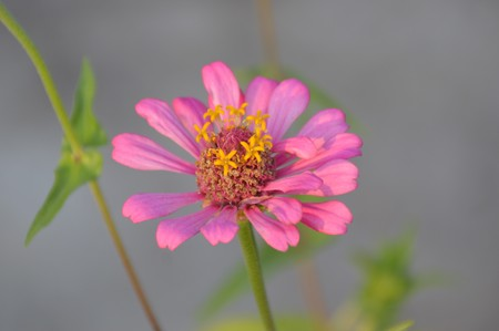 pink zinnia flower in garden Stock Photo