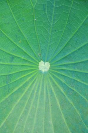 Loto verde lascia texture Archivio Fotografico - 56954589