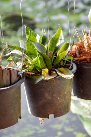 small Sansevieria plant in plastic pot hanging in garden Stock Photo