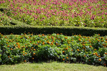 garden marigold: marigold flower in nature garden