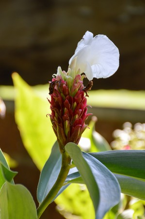 close up costus speciousus flower in nature garden