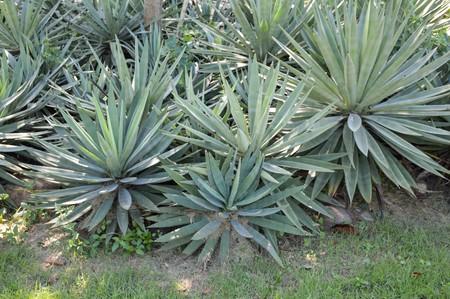 agave: Las plantas de agave en el jard�n de la naturaleza Foto de archivo