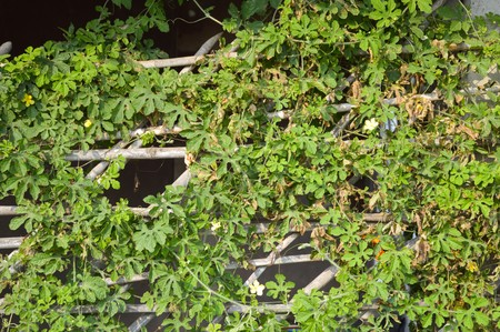 ivy wall: ivy wall in nature garden , Chachoengsao , Thailand Stock Photo