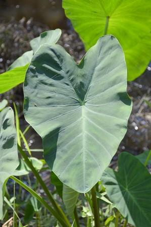 esculenta: fresh colocasia esculenta leaves in nature garden Stock Photo