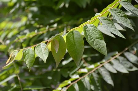 greem: fresh greem star gooseberry leaves in nature garden