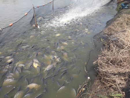 niloticus: Oreochromis niloticus fish on pond