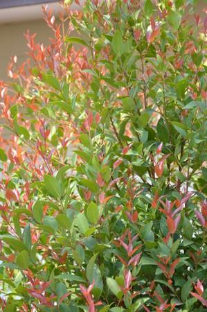 christina: Christina tree in garden - Syzygium australe