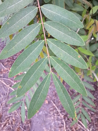 leguminosae: Senna siamea leaves in garden