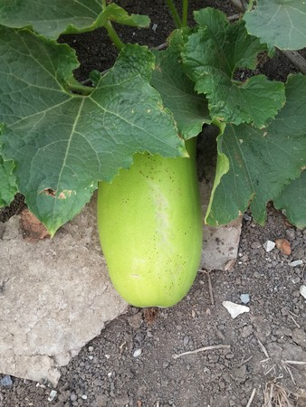 fresh green winter melon fruit on the ground Stok Fotoğraf