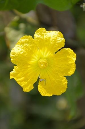 luffa: Sponge Gourd flower in garden - Luffa cylindrica