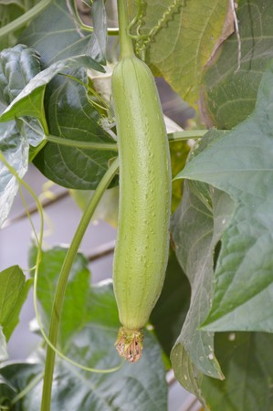 luffa: Sponge Gourd in garden - Luffa cylindrica Stock Photo