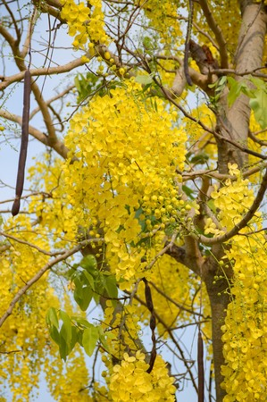 fistula: Golden shower flower in garden (Cassia fistula)