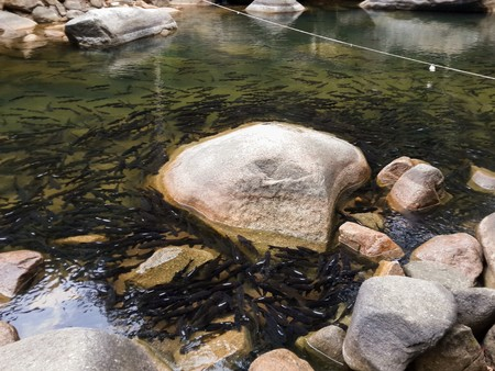Mahseer barb fish in waterfall Thailand Stock Photo
