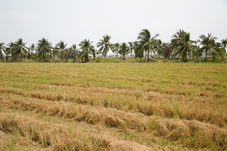 chachoengsao: rice field in country Chachoengsao Thailand