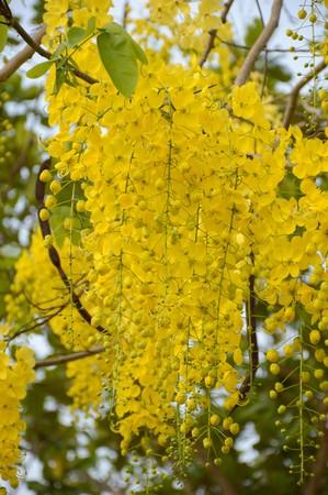 golden shower: golden shower flower or cassia fistula flower in nature garden