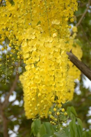 golden shower: Golden shower flower in garden (Cassia fistula)