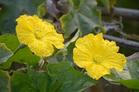 cylindrica: Sponge Gourd flower in garden - Luffa cylindrica
