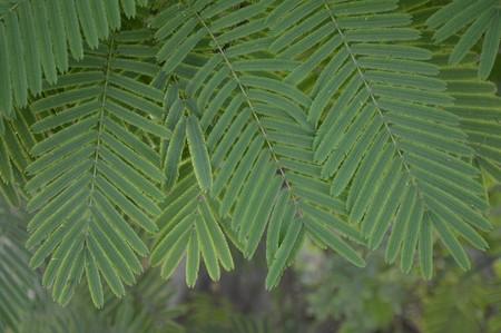 green climbing wattle leaves in vegetable garden Stock Photo