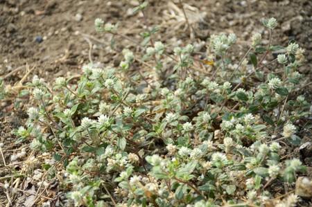 close up gomphrena weed flower in nature garden