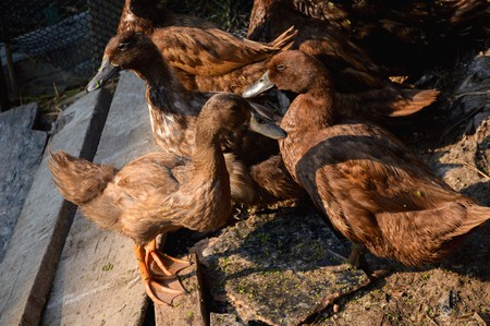 brown duck in country farm at Thailand
