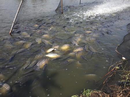 niloticus: Oreochromis niloticus fish in pond