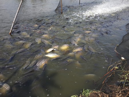 oreochromis niloticus: Oreochromis niloticus fish in pond