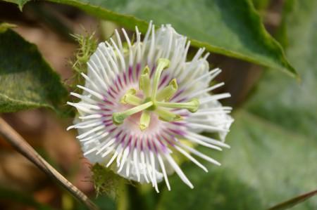fetid: fetid passionflower flower in nature garden