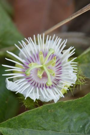 fetid: passiflora foetida flower in nature garden Stock Photo