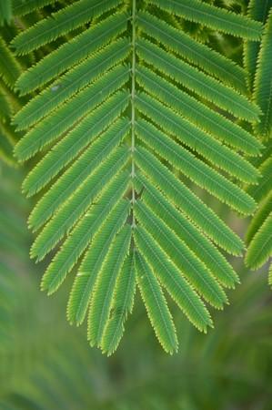 fresh green Senegalia pennata leaves in nature garden