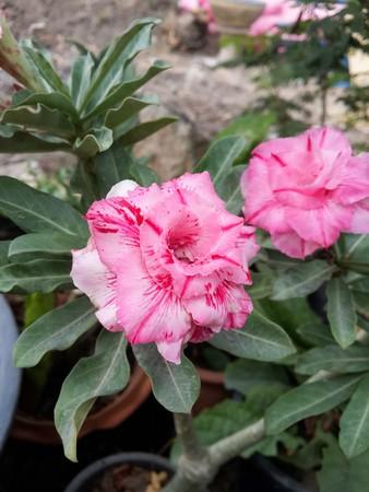 adenium: pink Adenium obesum  flower in nature garden