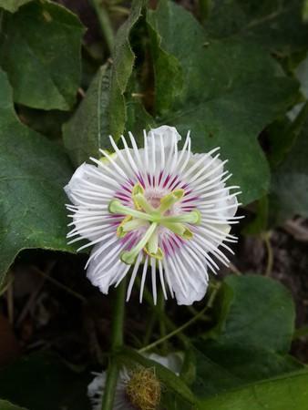 fetid: Passiflora foetida flower in nature garden