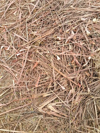 lemongrass: dry lemongrass on the ground Stock Photo