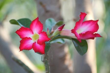 obesum: pink Adenium obesum flower in nature garden