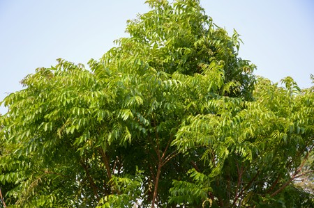 neem: Neem plan tree in garden , Azadirachta indica