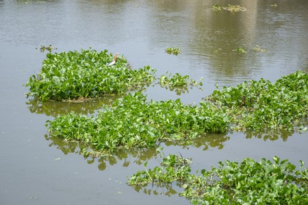 water hyacinth: green water hyacinth tree in river , Eichhornia crassipes