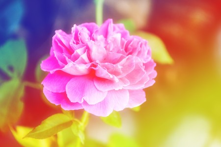rose flower with filter color Stock Photo