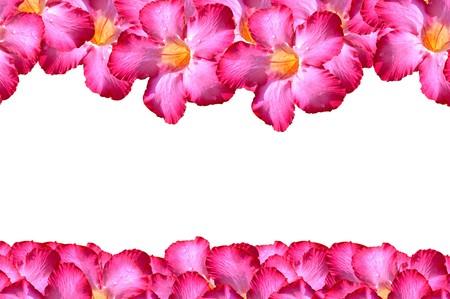 obesum: pink adenium obesum flower on white background Stock Photo