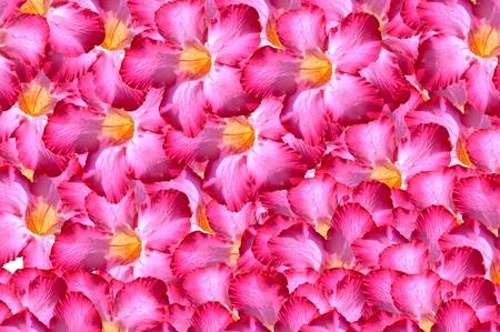 adenium: pink adenium obesum flower pattern background Stock Photo