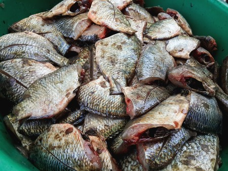 oreochromis niloticus: Oreochromis niloticus fish for cooking