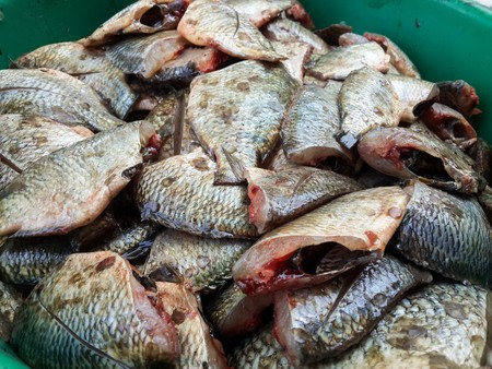 niloticus: Oreochromis niloticus fish for cooking