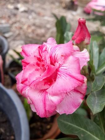 desert rose: desert rose flower in nature garden