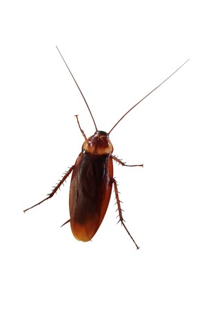 crawly: cockroach on white background