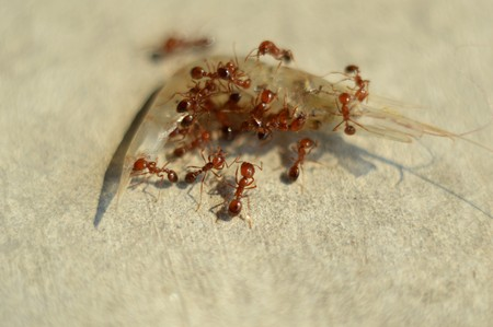 red ant: red ant on prawn