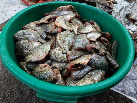 mango fish: Oreochromis niloticus fish for cooking