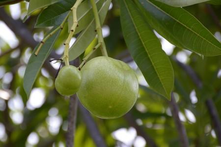 apocynaceae: close up fresh green Cerbera odollam fruit in nature garden
