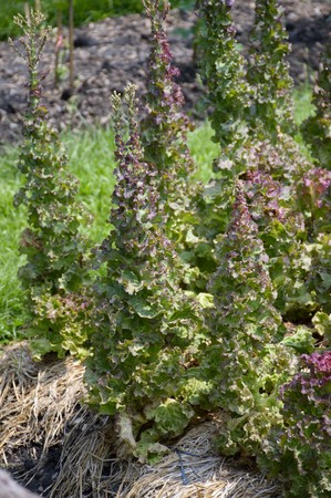lactuca sativa: Lactuca sativa plants in nature garden