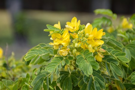 Senna surattensis flower in nature garden